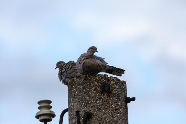 Pigeons on post by rninov