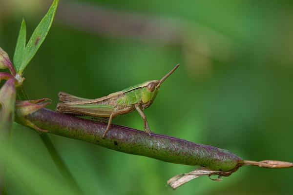 Short-winged green grasshopper by davereet
