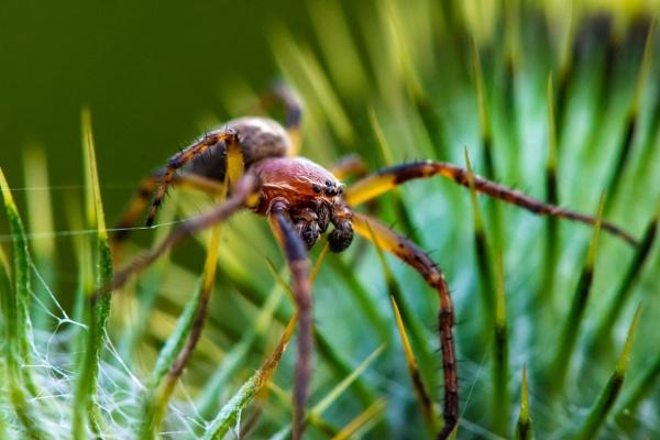 Sheetweb spider by davereet