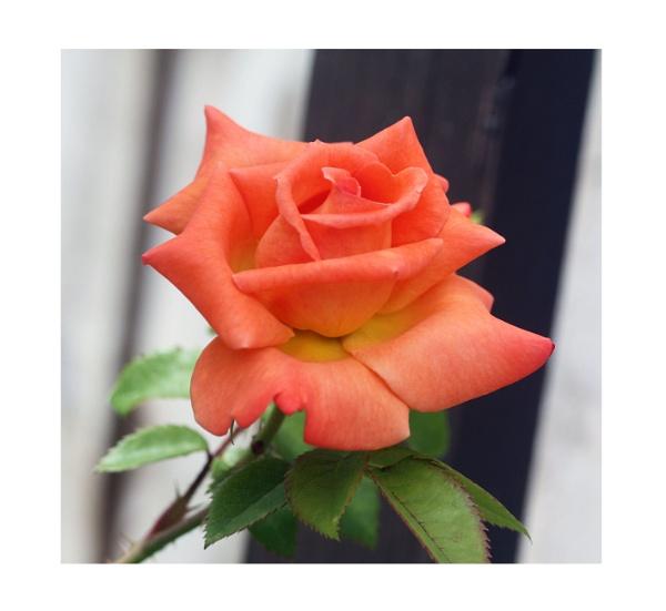 Rose by Dennie