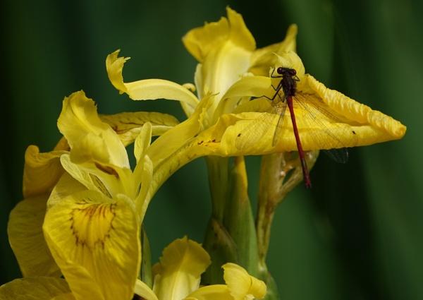 Iris pseudacorus and Damselfly by frogs123