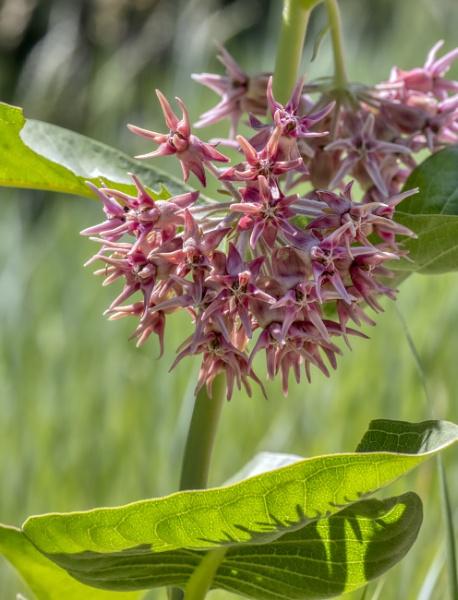 Showy Milkweed by fotolooney