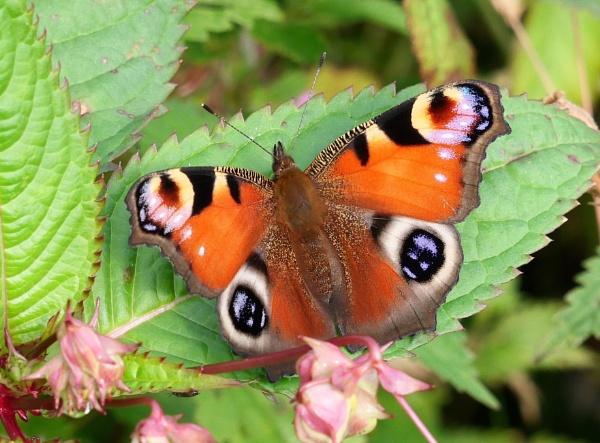 Peacock Butterfly by Backabit