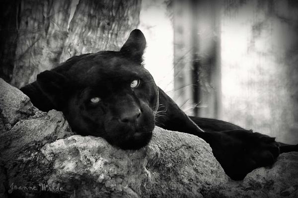 Jaguar by jowilde