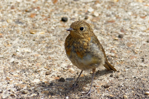 Young Robin by simmo73