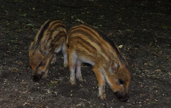 Wild boar piglets by HarmanNielsen