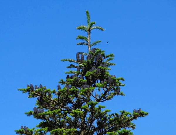 Spruce cones by SauliusR