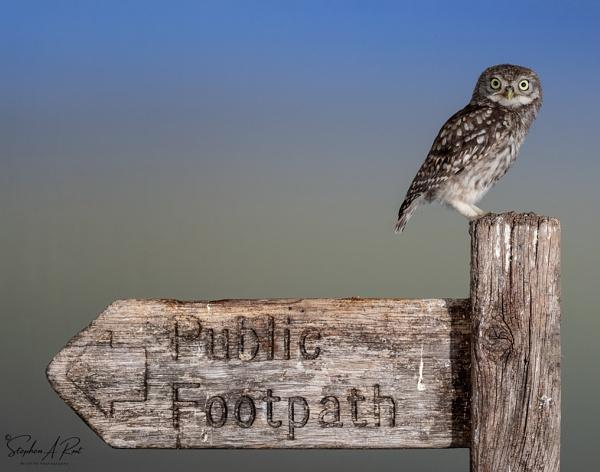 juvenile little owl by stephenroot