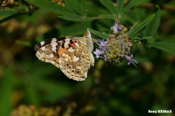 Papillon by kris34