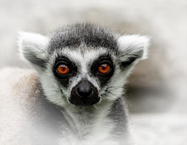 Lemur by dven