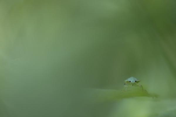 Green shield bug, 4th instar by gibworth
