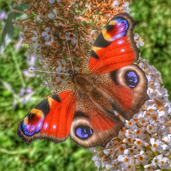 Peacock Butterfly by martin174