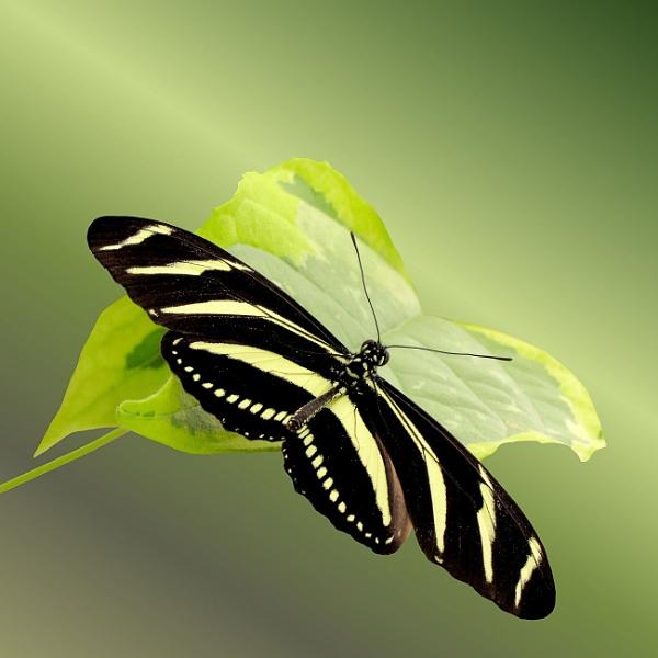 Zebra Longwing by pamelajean