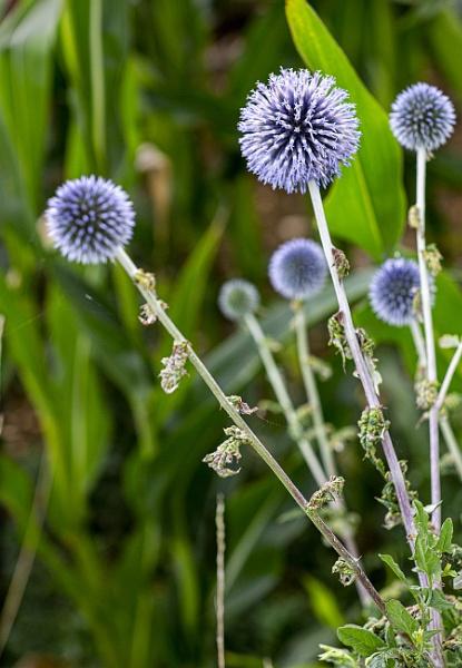 Blue Pom Poms by frenchie44