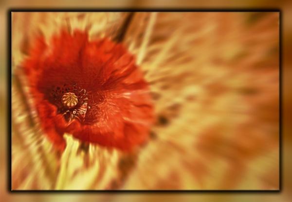 A lone poppy by SueLeonard