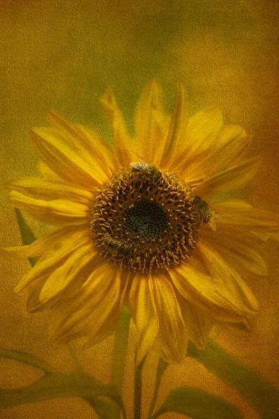 Sunflower by SueLeonard