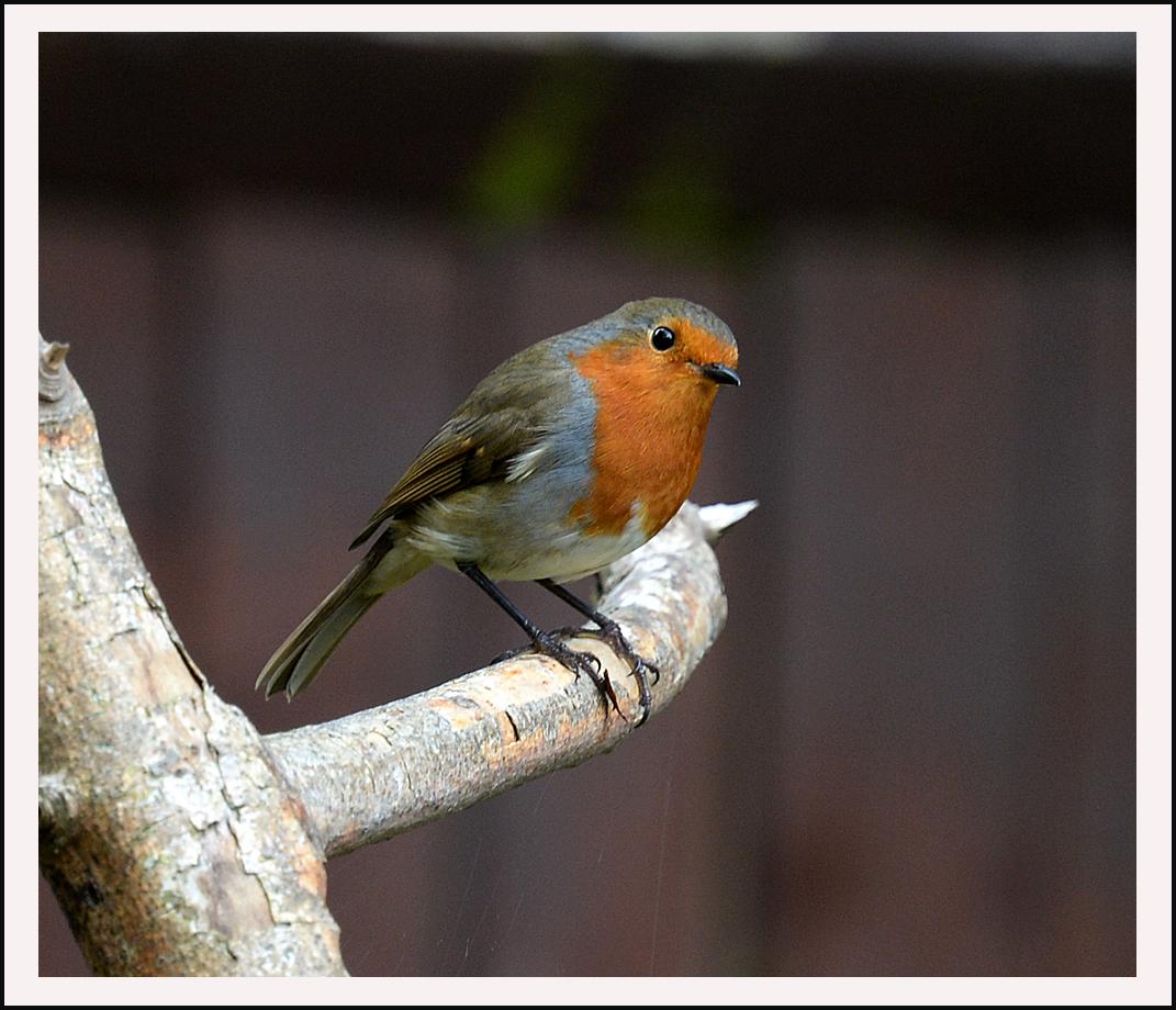 The Robin.