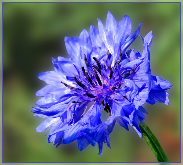 Cornflower by Sylviwhalley