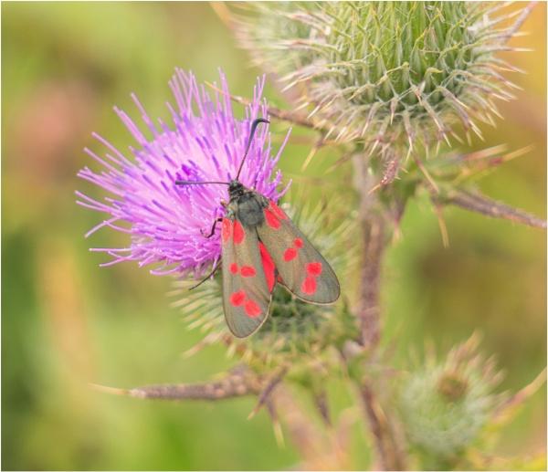 A six spot Burnet Moth. by franken