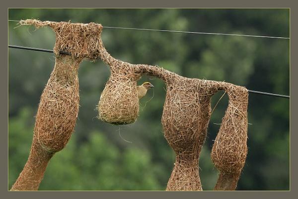 Peeping Weaver by prabhusinha