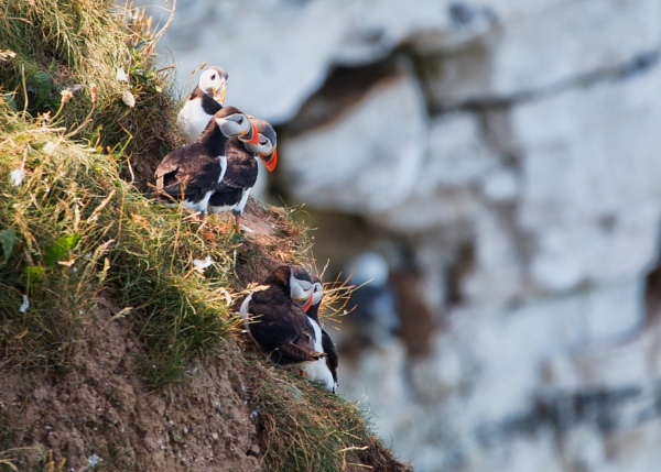 puffins at Bempton by stevegilman