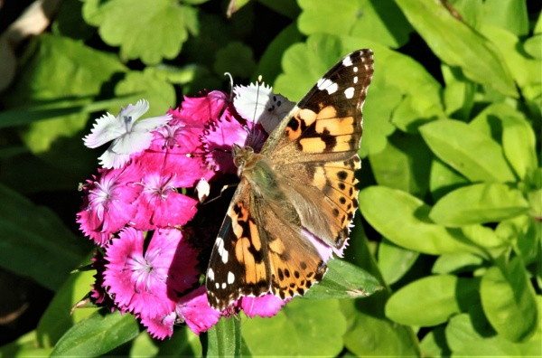 A Painted Lady by mike9005