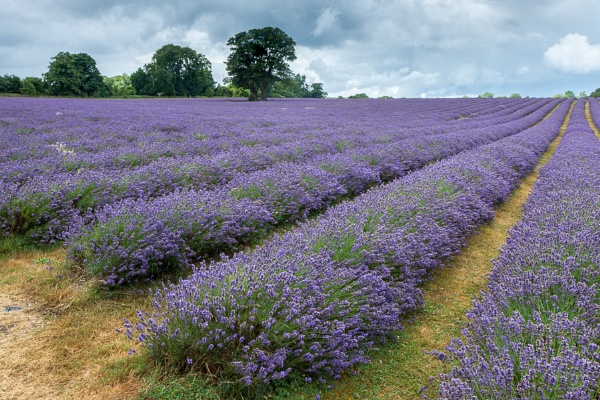 Lavender field in Banstead Surrey by Phil_Bird