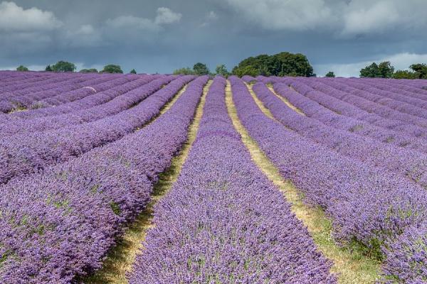 Lavender Field in Banstead Surrey by Phil_Bird