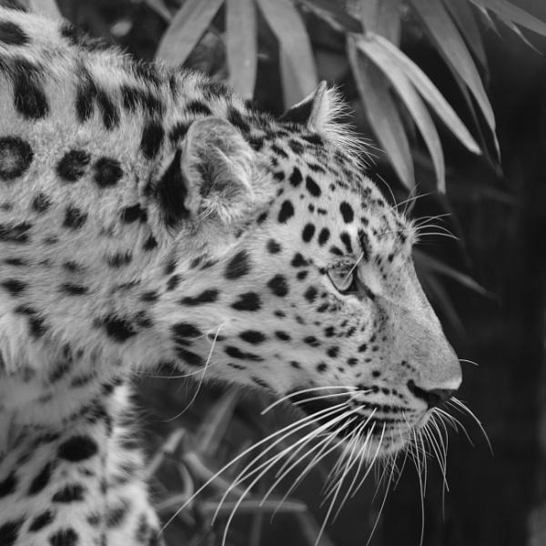 Leopard portrait 2 by iNKFIEND