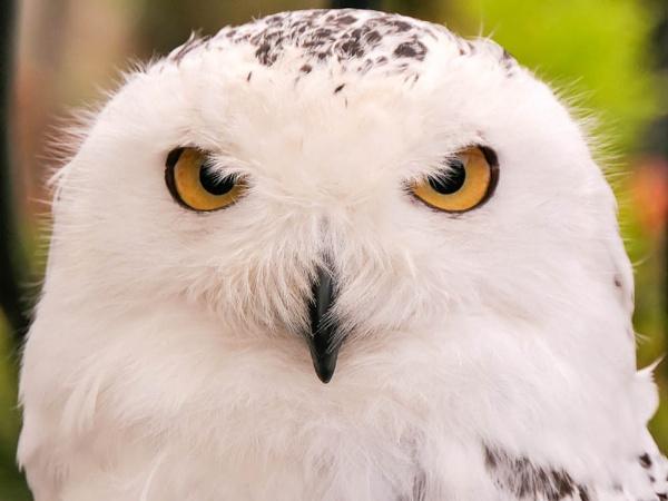 Snowy owl by RH