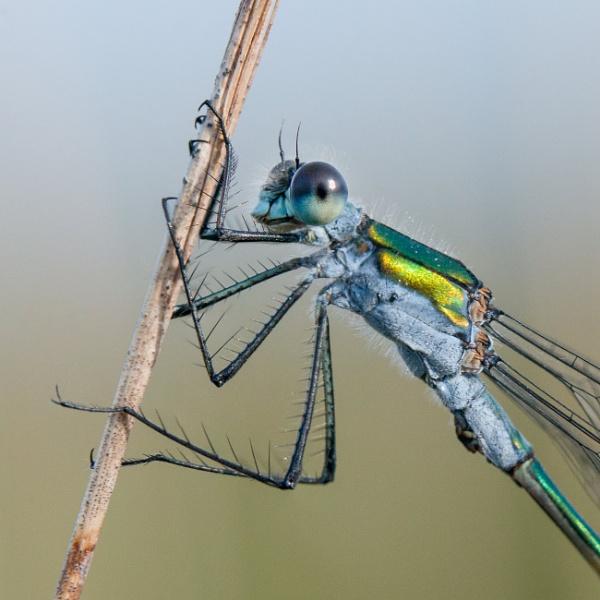 Emerald Damselfly by jasonrwl