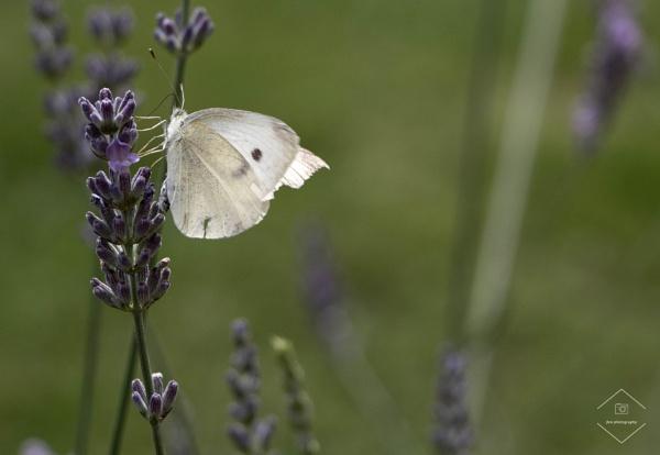 Butterfly On Lavendar by Jodyw17