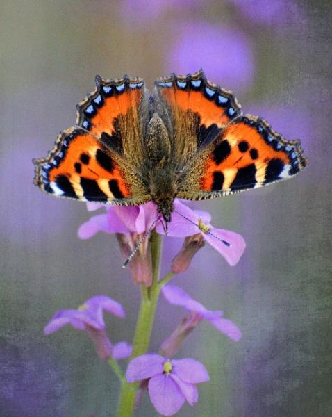 Lilac Mist by sweetpea62
