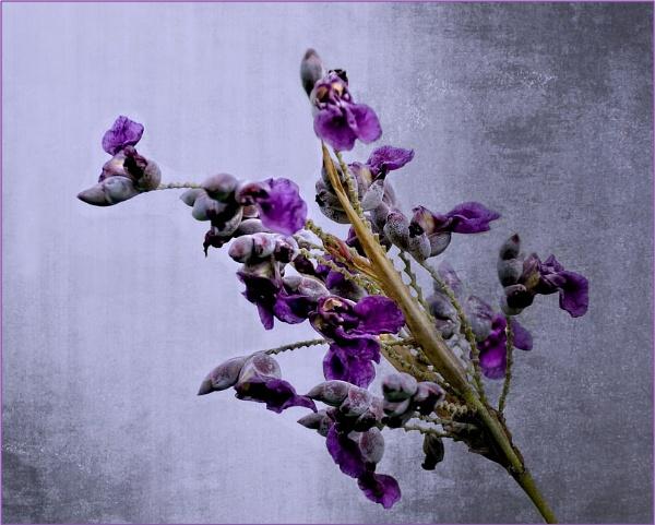 Deep Purple by sweetpea62