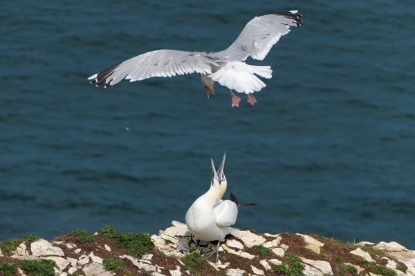 Gannet defending nest from Seagull by joshwa