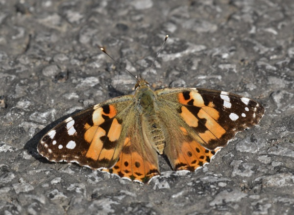 Sunbathing Painted Lady by ShaunsPics