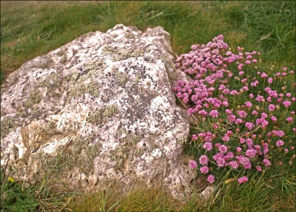 Trevose - wild flowers by JuBarney