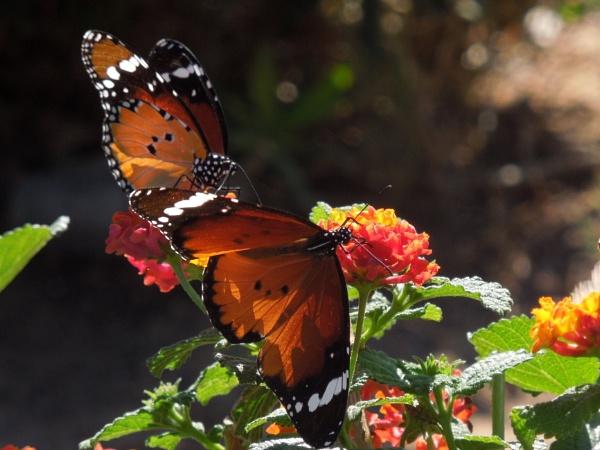 butterflies by bulbulov