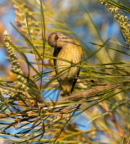 Brown Honeyeater by dvdrew