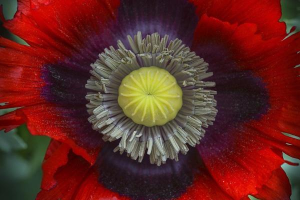 Poppy by deavilin
