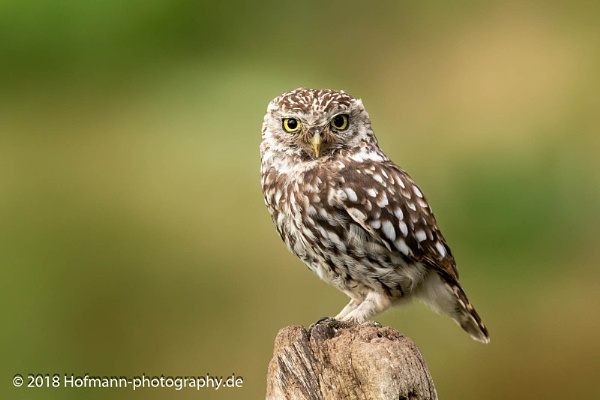 Little Owl on the lookout by drbird