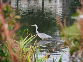 Heron at Keptie Pond