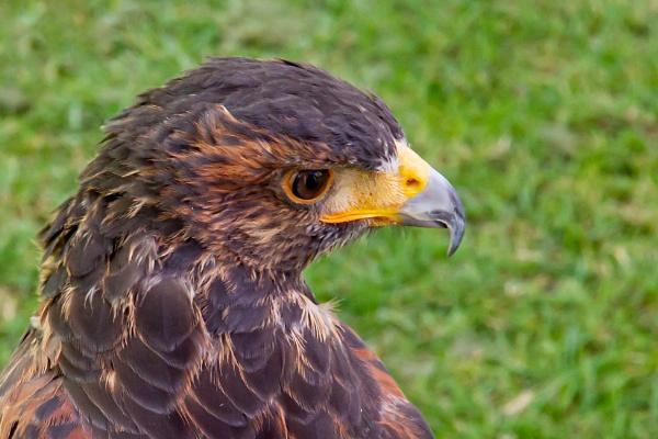 Harris Hawk by Bill_C