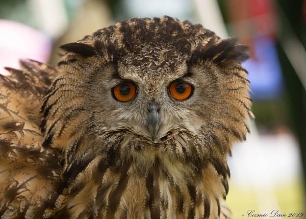 Eurasian Eagle-Owl by cozmic
