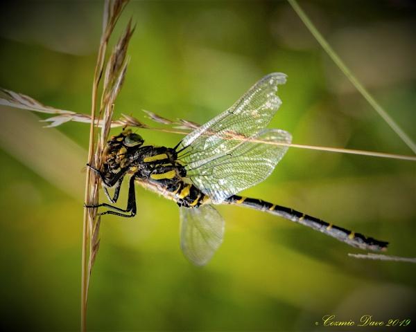Golden-ringed dragonfly (Cordulegaster boltonii) by cozmic