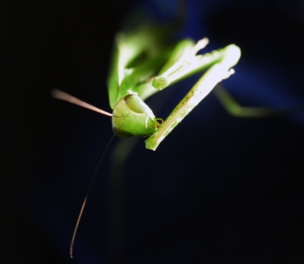 Mantis 2 by FIELD_OF_IMAGES