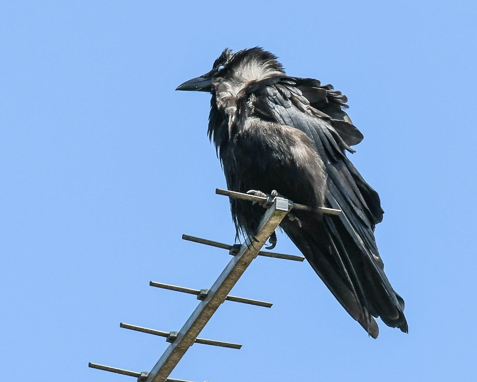 wind blown crow on ariel