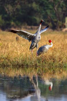 Sarus Crane Dance