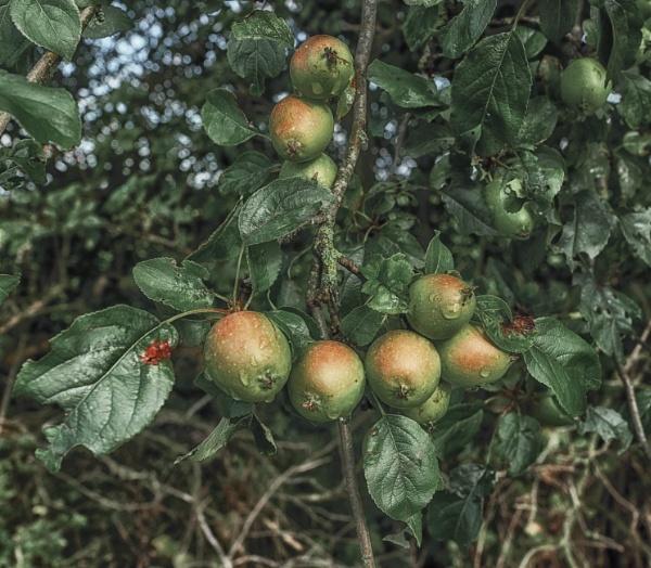 Autumn fruits by BillRookery