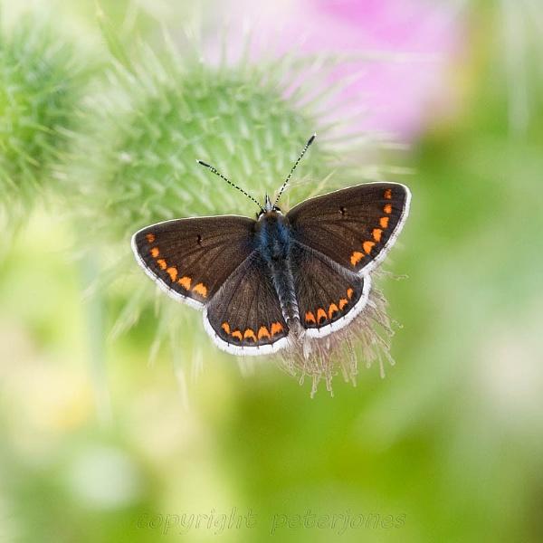 Brown Argus Butterfly. by peterjones